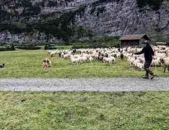 Sheep Herd Management
