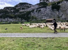 Sheep Herd Management