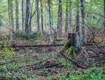 Bialowieza Logging - Mirosław Król © All rights reserved