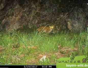 EWS - Gregor Louisoder Umweltstiftung Lynx Monitoring -07441_