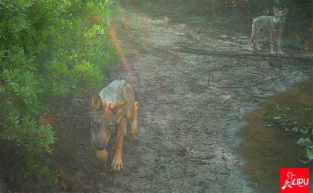 Wolf in Rome LIPU - © All rights reserved