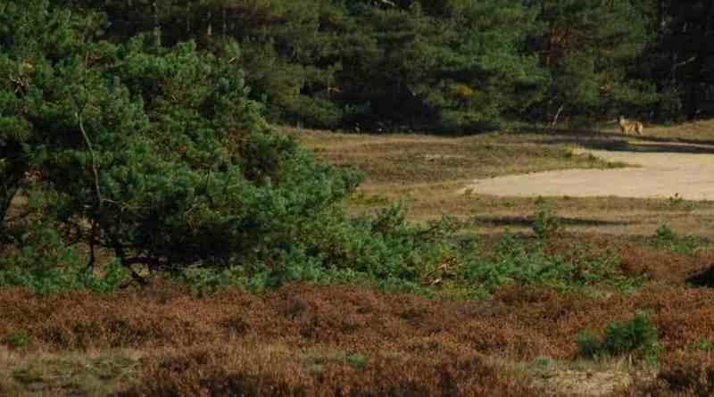 Wolven_in_Nederland_KvdSluis.jpg - © European Wilderness Society CC BY-NC-ND 4.0