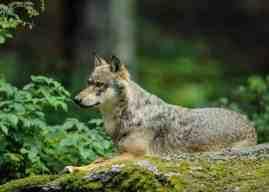 Swiss Hunting Department: Calanda wolves regulate red deer effectively