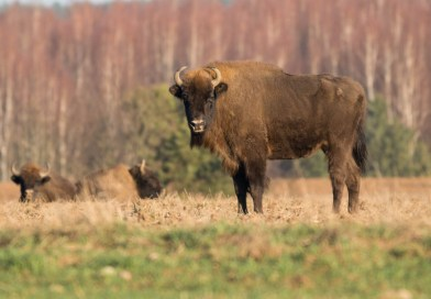 What is the bison´s future in Europe?
