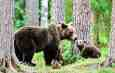Romanian Action Plan – Brown bear trophy hunting