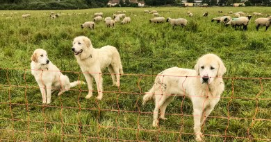 Successful Dutch pilot with livestock guarding dogs