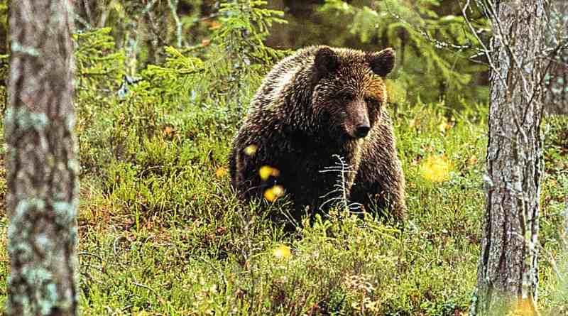Wilderness_bear_fnp_leifostergren.jpg - © European Wilderness Society CC BY-NC-ND 4.0