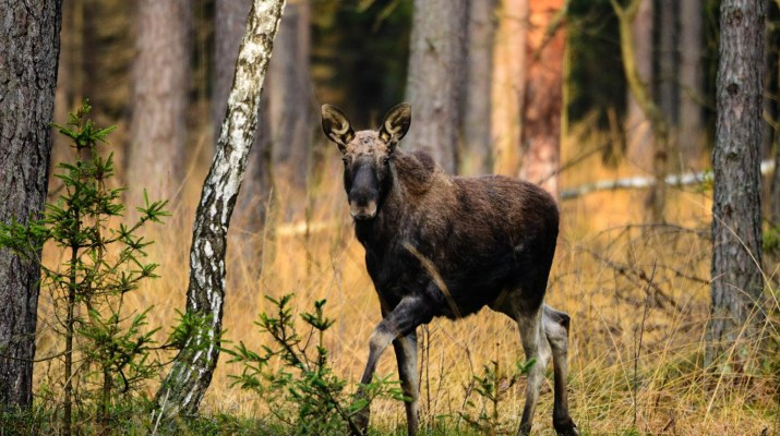 Moose © All rights reserved
