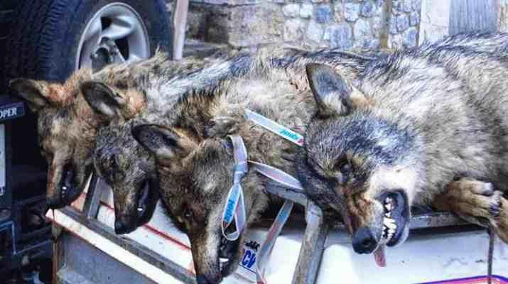 Wolf hunting Spain-14499