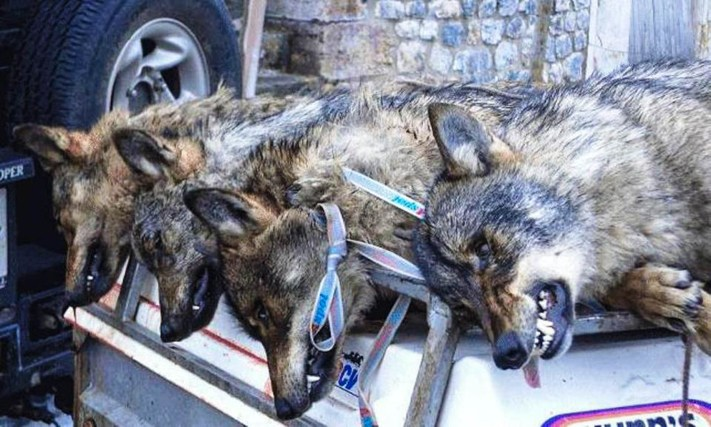 Wolf hunting Spain-14499