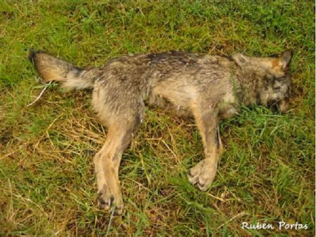 Wolf hunting Spain © All rights reserved