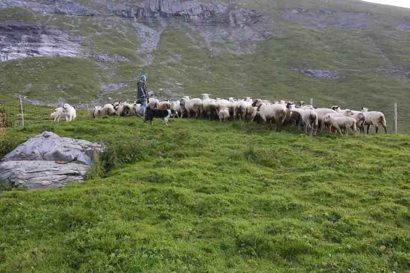 Herd Management Calanda Switzerland-15076.JPG - © European Wilderness Society CC BY-NC-ND 4.0