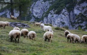 Gestione delle mandrie Calanda Svizzera Alp Ramuz-15406.jpg