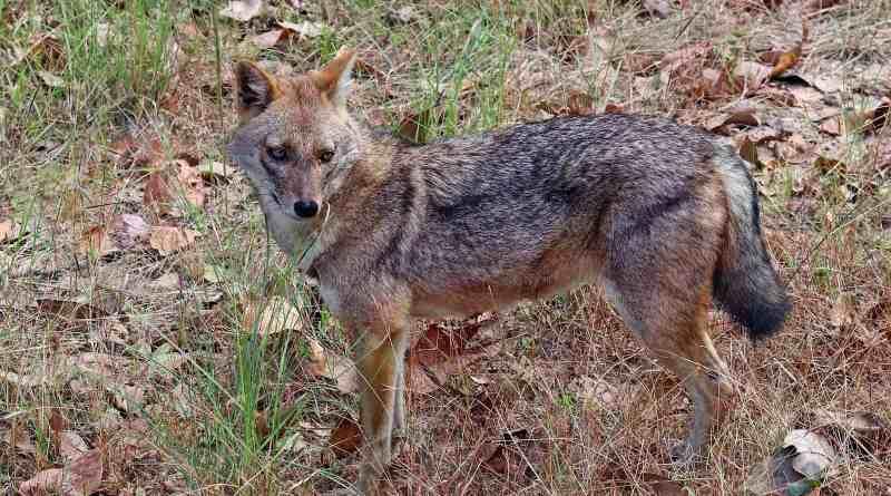 Golden_jackal_(Canis_aureus_indicus)_male.jpg - © © Wikipedia CC BY-NC-ND 4.0