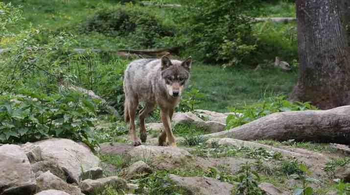 Wolves Switzerland © CH Wolf