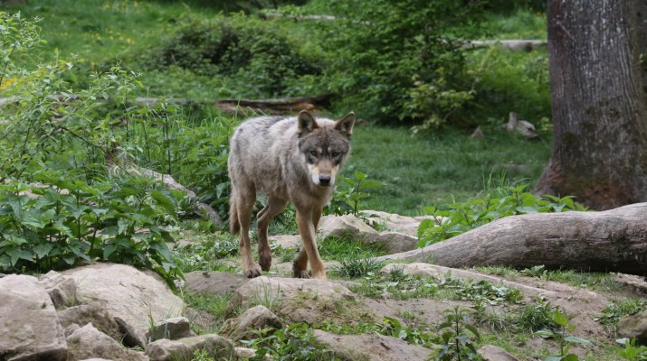 Wolves Switzerland © CH Wolf © All rights reserved
