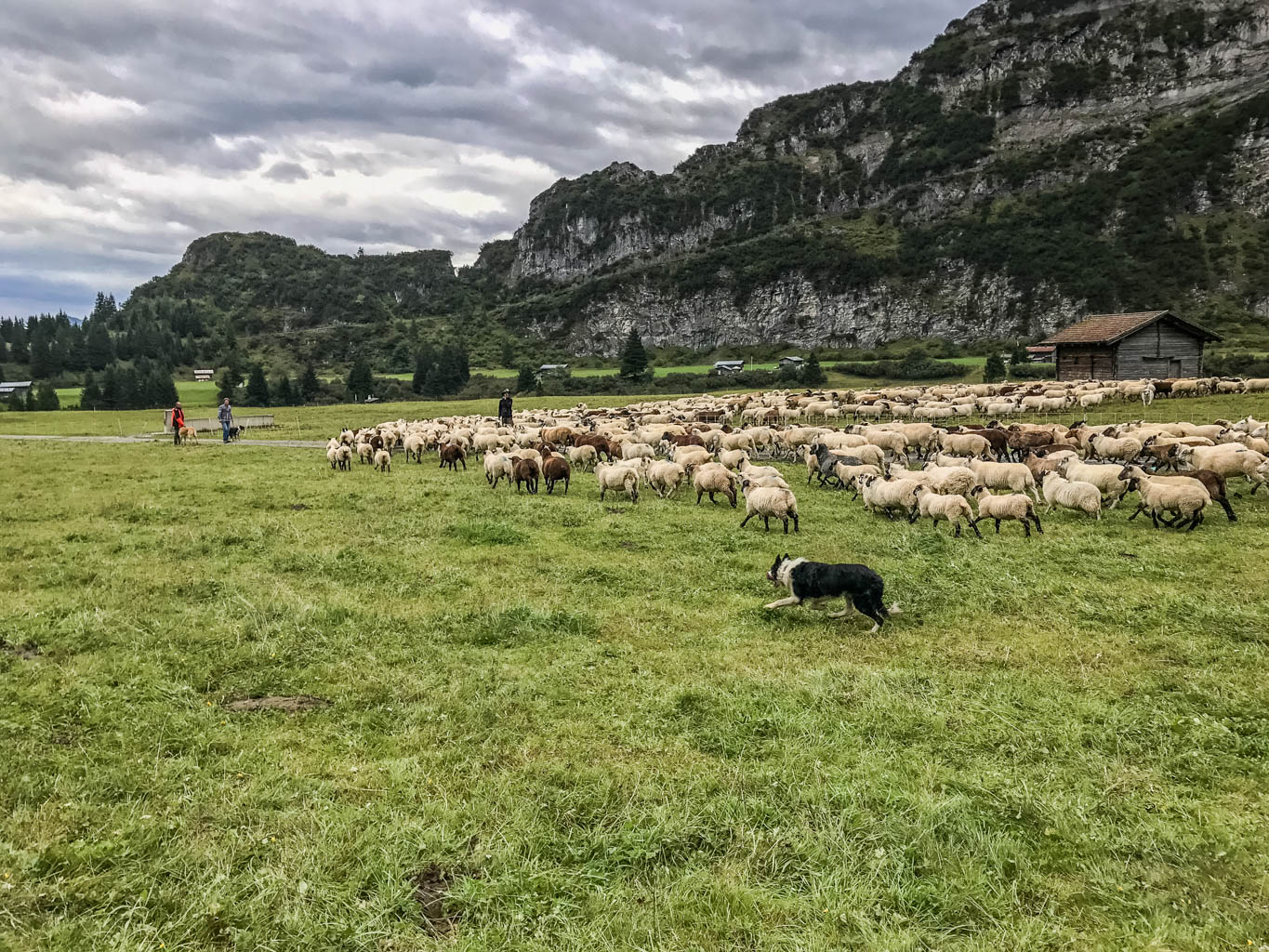 Sheep Herd Management 0173.jpg - European Wilderness Society  - CC NonCommercial-NoDerivates 4.0 International