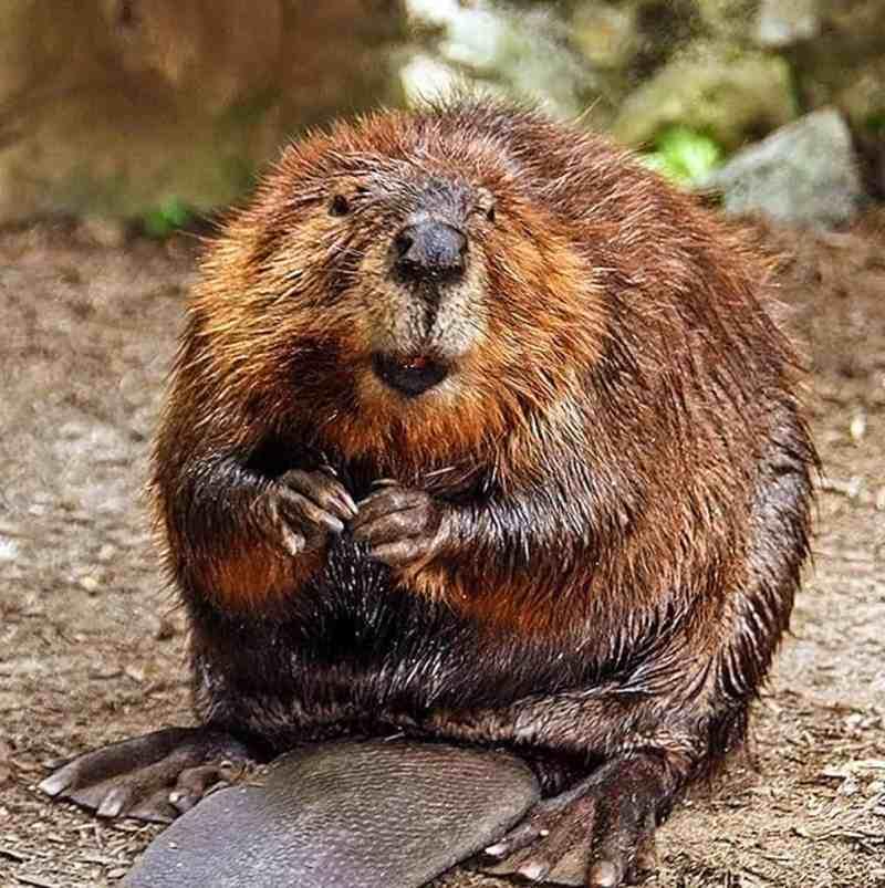 Beaver.jpg - © European Wilderness Society CC BY-NC-ND 4.0