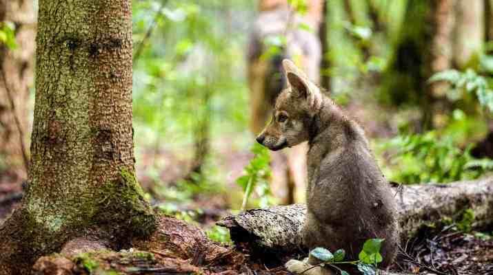 Grauwold-Welpe im Sitzenc Wild Wonders of Europe_Sergey Gorshkov_WWF.jpg - © WWF All Rights Reserved