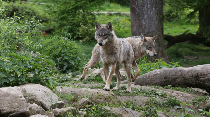 ParcAnimalierSainteCroix_05-2017_1572.JPG - © European Wilderness Society CC BY-NC-ND 4.0