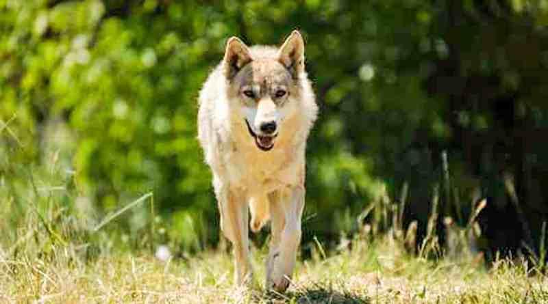 Wolf-fotolia_46190428.jpg - © Fotolia CC BY-NC-ND 4.0