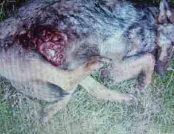 Wolf hunting Spain-14524.JPG - European Wilderness Society - CC NonCommercial-NoDerivates 4.0 International