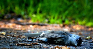 Dead Bird - Pixabay -bird-1683655.jpg - © Pixabay CC BY-NC-ND 4.0