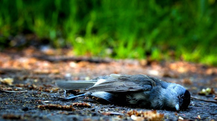 Dead Bird - Pixabay -bird-1683655.jpg - © Pixabay All Rights Reserved