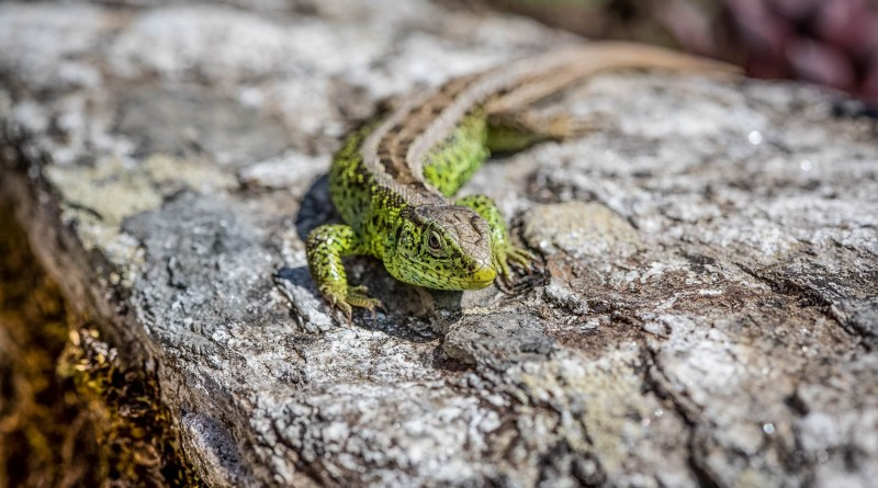 lizard-4176465.jpg - © Pixabay All Rights Reserved