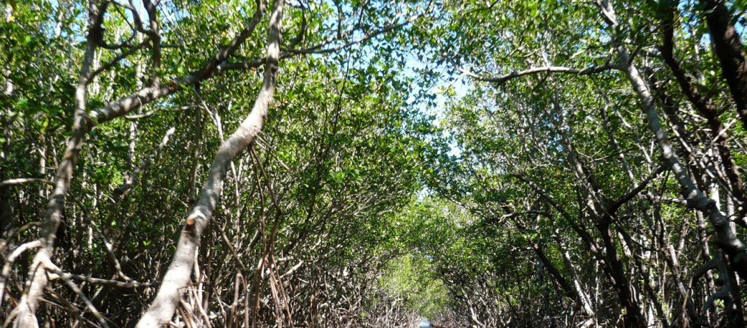 Forget about tropical rainforest – mangroves are the best carbon storers