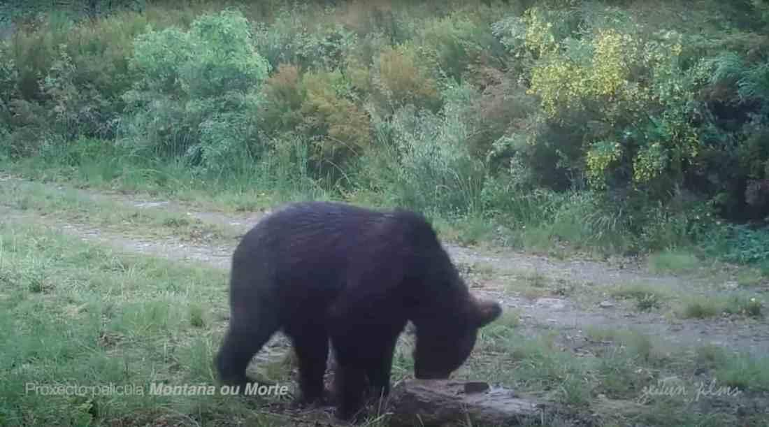 First brown bear in Spain in 150 years-31305.jpg