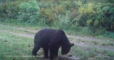 First brown bear in Spain in 150 years-31305.jpg