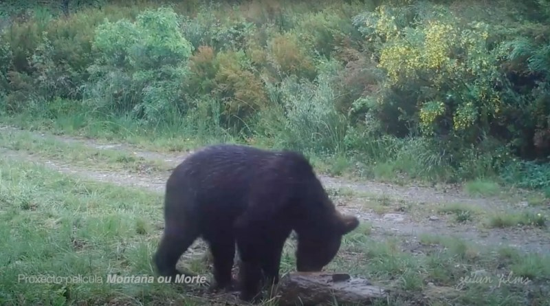 First bear spotted in Spanish National Park after 150 years