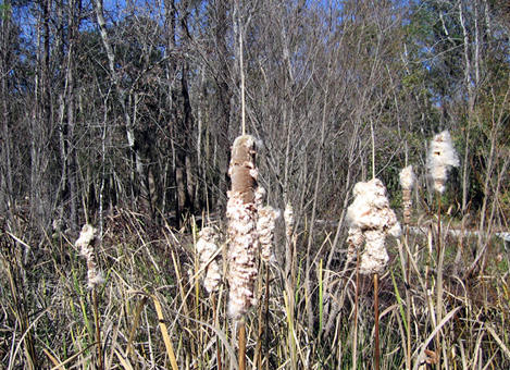 Ripe Cattail plant fruit (seeds disperse from these cattails)