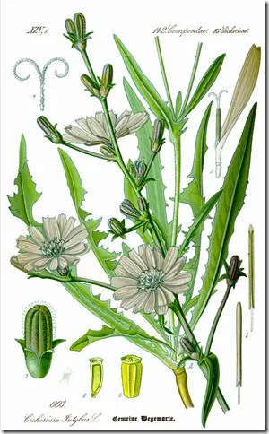 Chicory plant and its components (drawing)