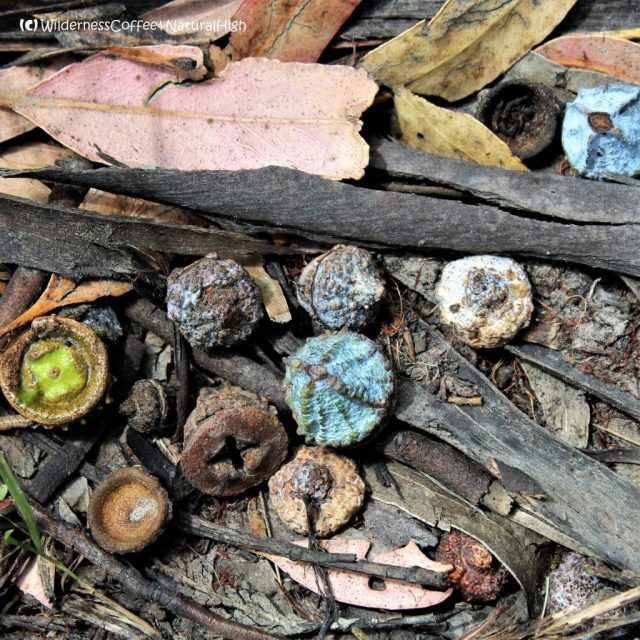 Eucalypt bush nuts, Bruny Island, Tasmania, Australia