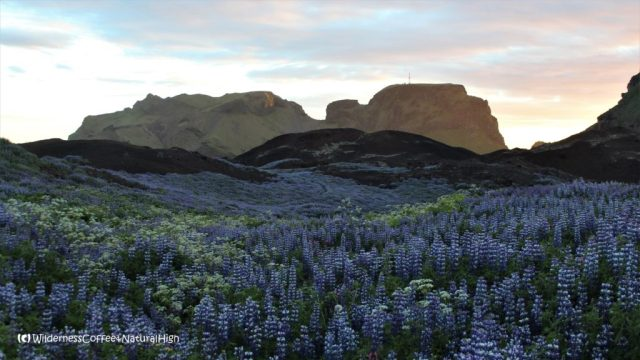 Lupine lava fields, view to Klif and Dalfjall, Vestmannaeyjar, Iceland