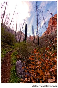 Dead trees along Sterling Pass Trail
