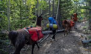 llamas-backpacking-4