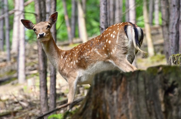 deer on the forest