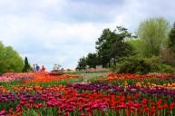 Tulip Garden In Minnesota Landscape Arboretum