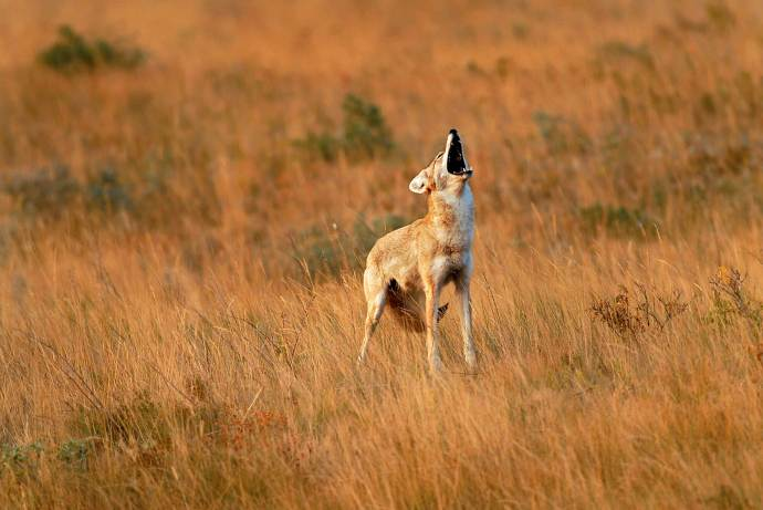 A coyote calls out to its pack, on grasslands within Glacier National Park
