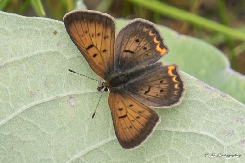 purplish cooper butterfly-5956