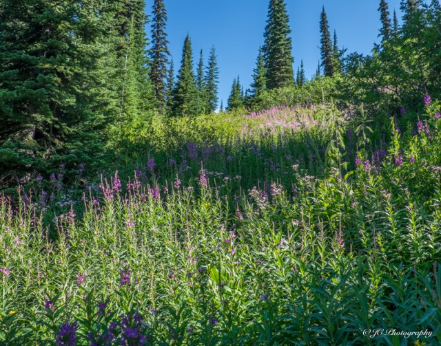 fireweed hillside-5997