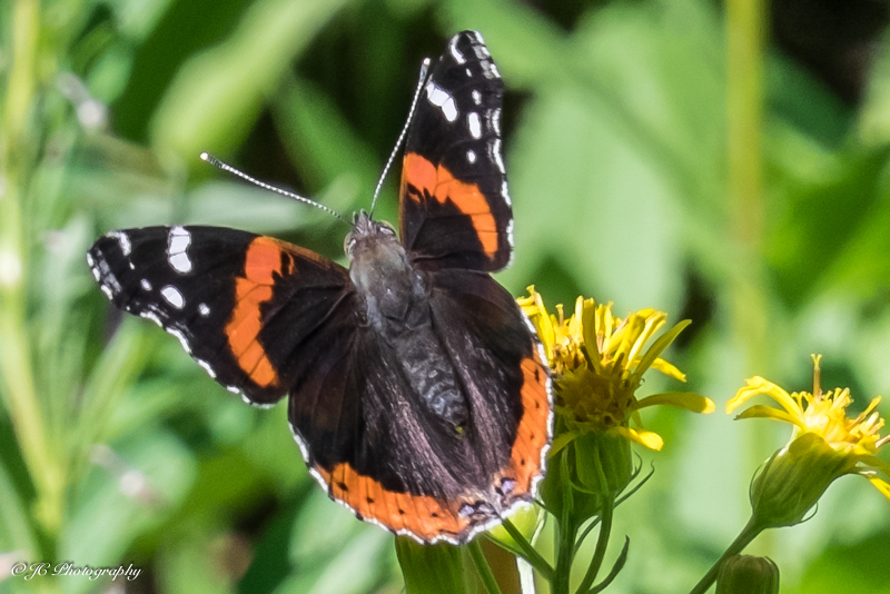 red admiral-6103