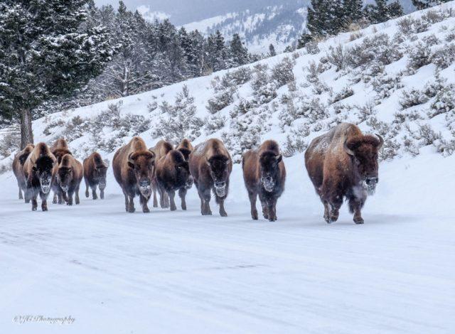 bison-4007