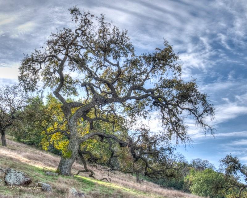 blue oak-