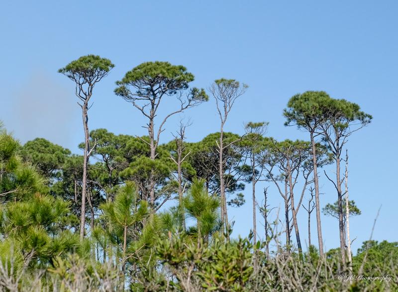 pines-4398