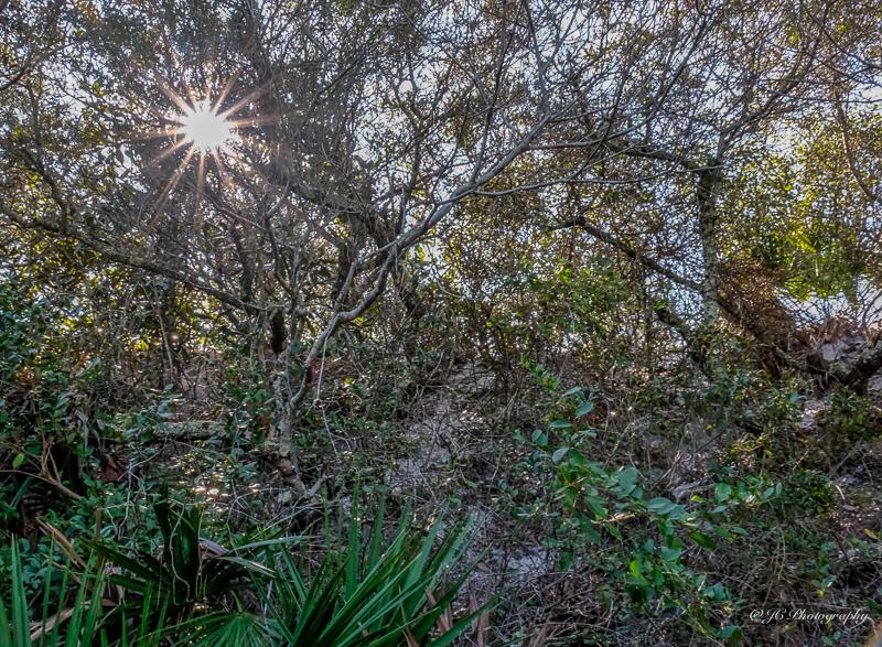 sun through sand live oaks