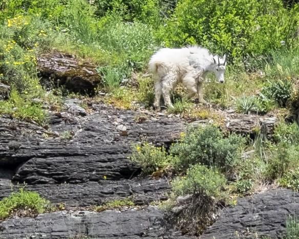 goat-9263-